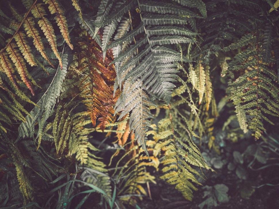French ferns